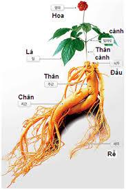 Truyền thuyết về cây Nhân sâm Hàn Quốc